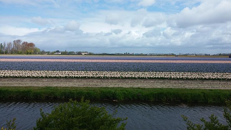 campos de tulipa - amsterdam